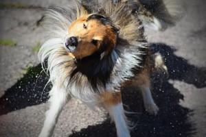 Hund skakar av sig vatten som Joakim lyckades fånga så fint.