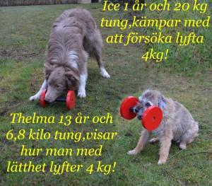 Brukshunden Thelma som lyfte 4 kg utan problem.