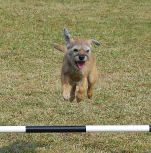 Agilityhunden Thelma!